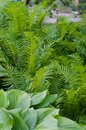 Green bush of Hosta and fern in summer. Royalty Free Stock Photo