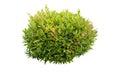 Green bush isolated
