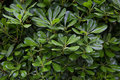 Green bush with laurel leaves Royalty Free Stock Photo