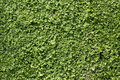 Green bush wall background texture Royalty Free Stock Photo