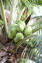 Green bushy coconuts on the coconut tree gree Royalty Free Stock Photography
