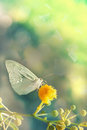 Green butterfly light on a yellow flower fine art photography with bokeh effect Royalty Free Stock Images