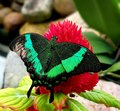 Butterfly in green color on red flower Royalty Free Stock Photo