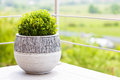 Green buxus in ceramic flower pot on a balcony Royalty Free Stock Photo