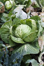 Green cabbage plants and leaves growing garden in Stock Image