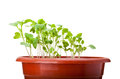 Green cabbage sprouts growing in red pot Royalty Free Stock Photography