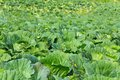 Green cabbages in the agriculture fields many Royalty Free Stock Image