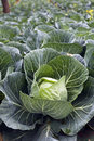 Green Cabbages Details Royalty Free Stock Image