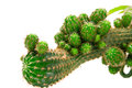 Green cactus Royalty Free Stock Photo