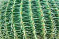 Green cactus with long thorns