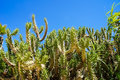 Green cactuses with blue sky Royalty Free Stock Photo