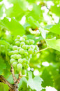 Green canopy with a bunch of grapes in foreground down view Stock Image