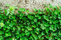 Green carpet of clover. Texture of the leaves of the clover. Pla