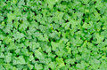 Green carpet of ivy in the forest Royalty Free Stock Photography
