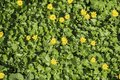 Green carpet of leaves covered with yellow spring lesser celandine