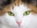 green cat eye Royalty Free Stock Photo