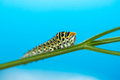 Green caterpillar creeps on a green leaf isolated Royalty Free Stock Photo