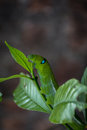 Green caterpillar eating leaf. Royalty Free Stock Photo