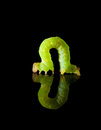 Green caterpillar isolated on black side view of geometrid reflective plate Stock Photography