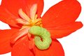 Green caterpillar on red flower Stock Photography
