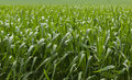 Green cereal field after rain Royalty Free Stock Photo