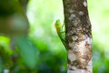 Green chameleon at tree branch in singharaja forest in sri lanka Royalty Free Stock Photos