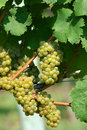 Green chardonnay grapes Royalty Free Stock Photo