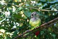 Green-cheeked parakeet conure or Pyrrhura molinae sitting on green tree background close up