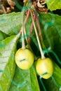 Green cherries behind bird protection net Stock Photography