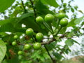 The green cherries in sunshine Stock Photography