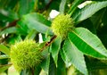 Green chestnut burr and leaves in a tree france Stock Image