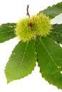 Green chestnut curls Royalty Free Stock Photo