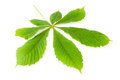 Green chestnut leaf Stock Photo