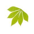 Green chestnut leaf Royalty Free Stock Photo