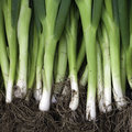 Green Chinese Onions Stock Photography