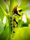 Green Citrus Swallow tail caterpillar Stock Photo