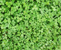 Green clover background (texture) Royalty Free Stock Photo