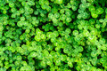 Green clover close view of leaf Royalty Free Stock Photography