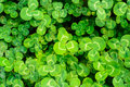Green clover close view of leaf Stock Photo