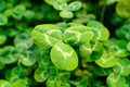 Green clover leaf in the nature Royalty Free Stock Photos
