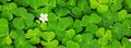 Green clover leaves background . Royalty Free Stock Photo