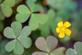 Green clover with yelow flower Royalty Free Stock Photography