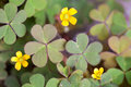 Green clover with yelow flowers Stock Photos