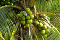 Green coco nuts growing on a palm Royalty Free Stock Photo