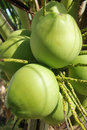 Green coconut Royalty Free Stock Photography