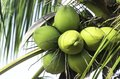 Green coconut fruit with leaf on tree Stock Image