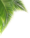 Green coconut leaf on white background Stock Image