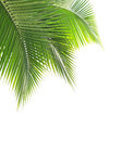 Green coconut leaf on white background Royalty Free Stock Photography