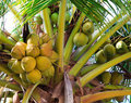 Green coconut at palm tree Stock Photos