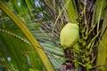 Green coconut at tree Royalty Free Stock Image